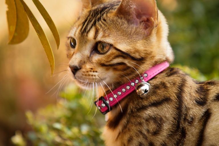 חתול עם קולר פעמון