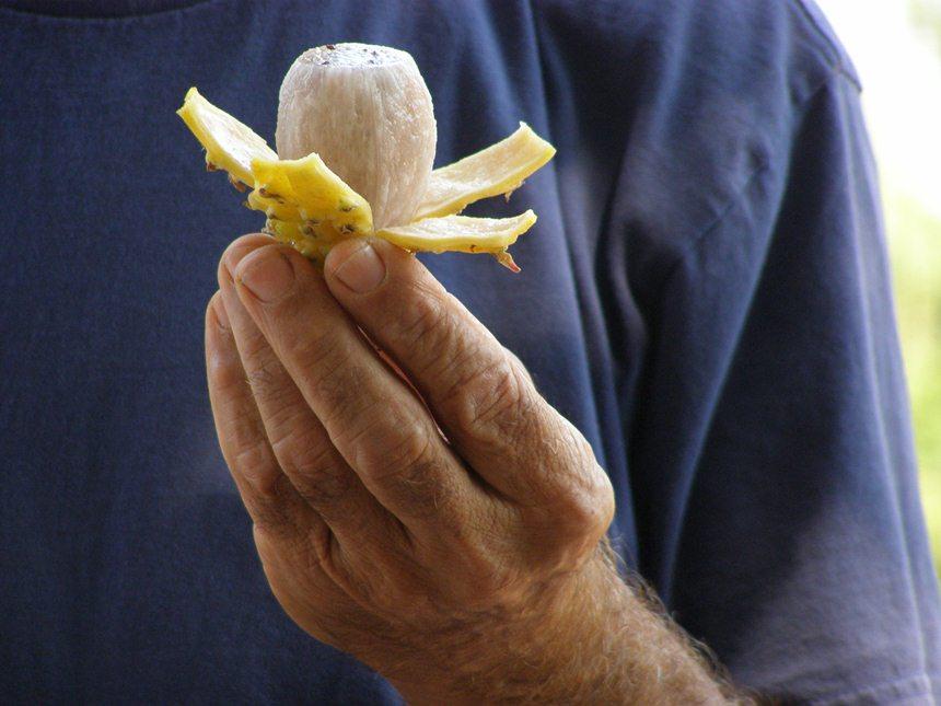 קילוף הפיטאיה הצהובה