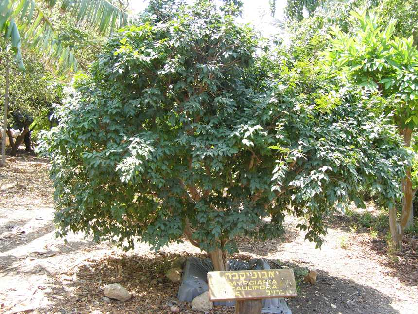 עץ הג'בוטיקבה